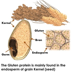 the-gluten-protein-is-mainly-found-in-the-endosperm-of-grain-kernel-seed